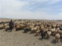 خرید حمایتی بیش از ۹۳ تن شیر از گوسفندداران منطقه النجق مرند